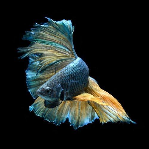 Фотограф делает снимки аквариумных рыбок, какими вы их ещё никогда не видели