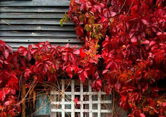 Дикий виноград на заборе: как правильно сажать