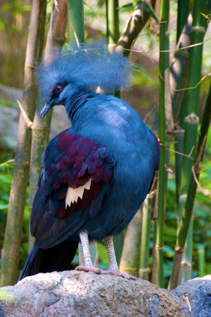 Веероносный венценосный голубь (28 фото)