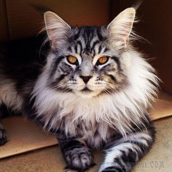 18 котов породы мейн-кун, по сравнению с которыми ваша кошка выглядит крошечной