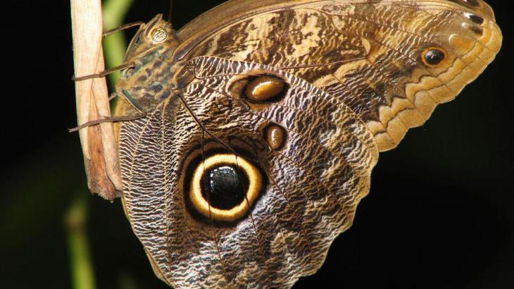 мимикрия бабочек