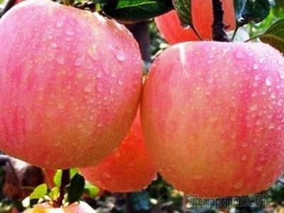 Характеристика осенне-зимней яблони Фуджи