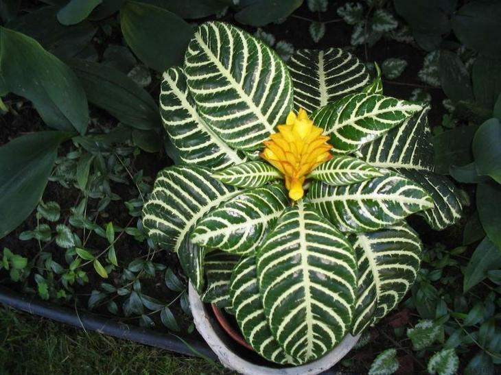 Красивая листва афеландры