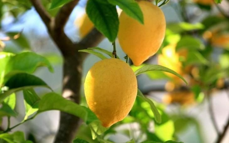 лимон в саду