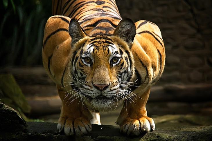 Тигры – дикий животный магнетизм в 30 потрясающих фотографиях 5