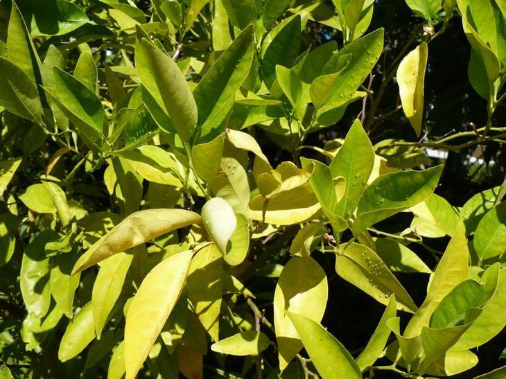 Листья лимона скручиваются из-за нехватки кальция