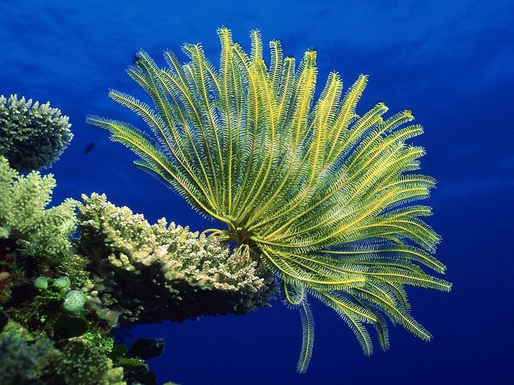 Морские лилии на коралле