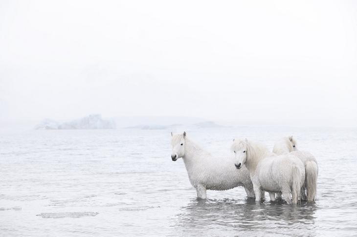 loshadi-Islandii-fotograf-Dryu-Doggett 16