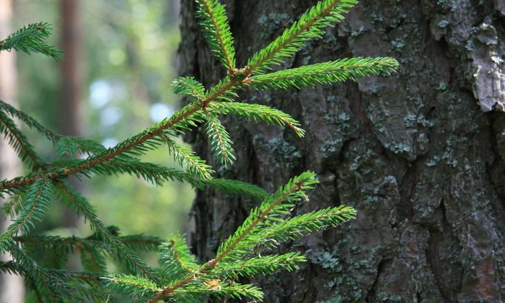Свойства дерева ЕЛЬ. Целебная сила дерева. Как деревья нас лечат. Фото с сайта NewPix.ru