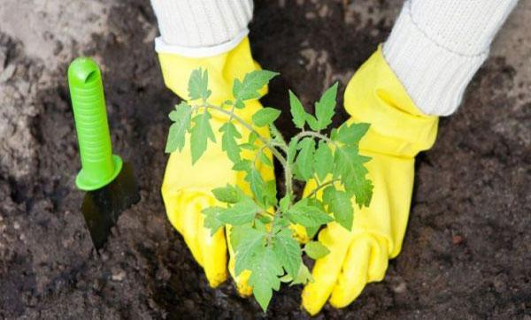 Сколько и что класть в лунку при посадке помидор: какие удобрения можно вносить
