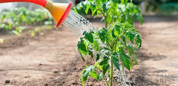 Черные мошки на помидорах – методы борьбы и профилактика