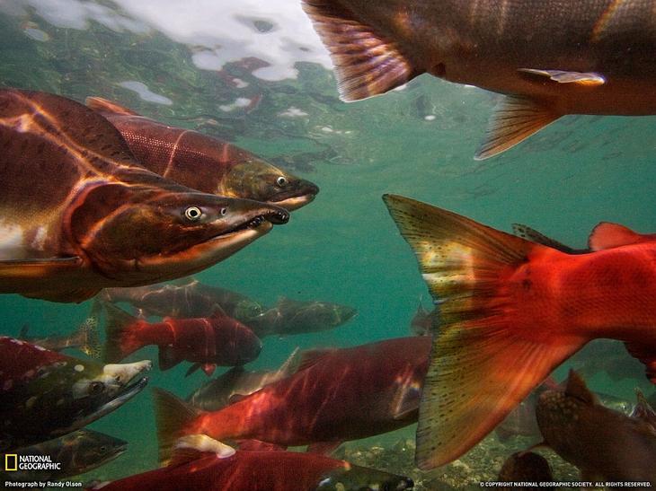 Тихоокеанские лососи
