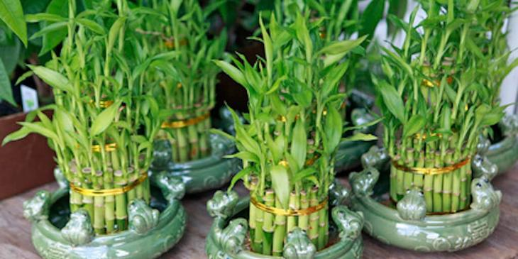 Бамбук на даче размножение