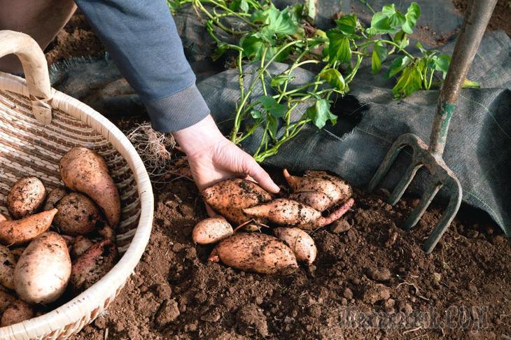 Как вырастить рассаду батата из клубня?