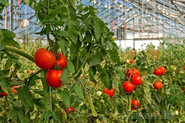 Какие болезни подстерегают томаты в теплице