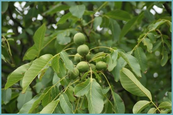 Как выращивать грецкий орех в Подмосковье лучшие сорта посадка и уход