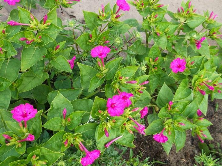 Какие цветы сочетаются с пионами на клумбе118