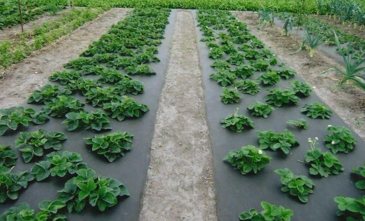Правильная технология выращивания клубники под агроволокном осенью и весной: схема посадки и полив