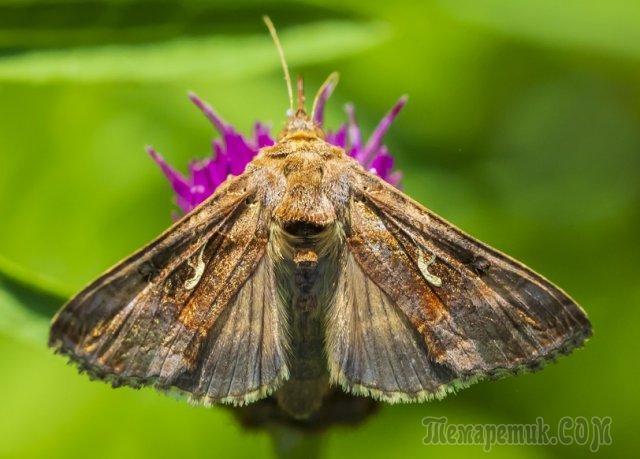 Мотылек и бабочка разница