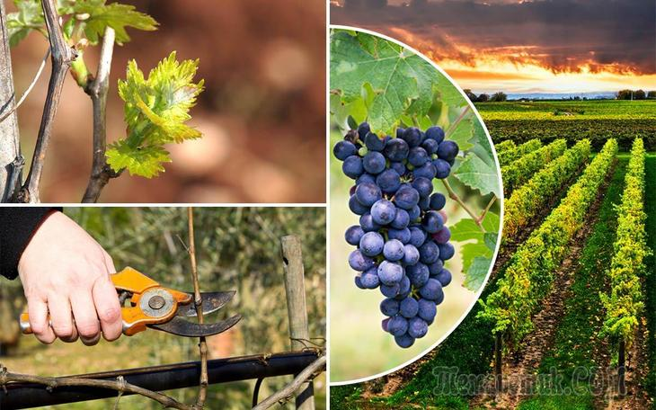 Удобрения для винограда осенью - когда и чем удобрять