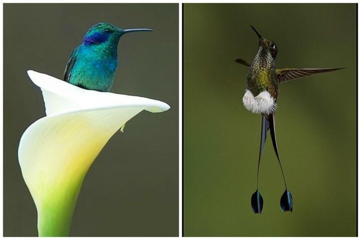 И в день съедают нектара больше своего веса интересное, колибри, природа, птицы, факты, фауна