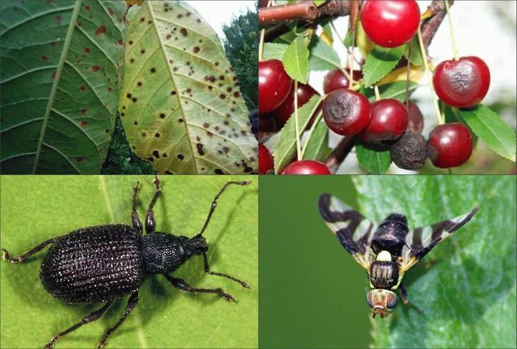 Войлочная вишня: болезни и лечение, вредители и борьба с ними