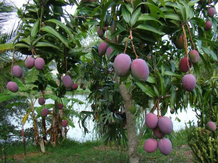 уход за манго