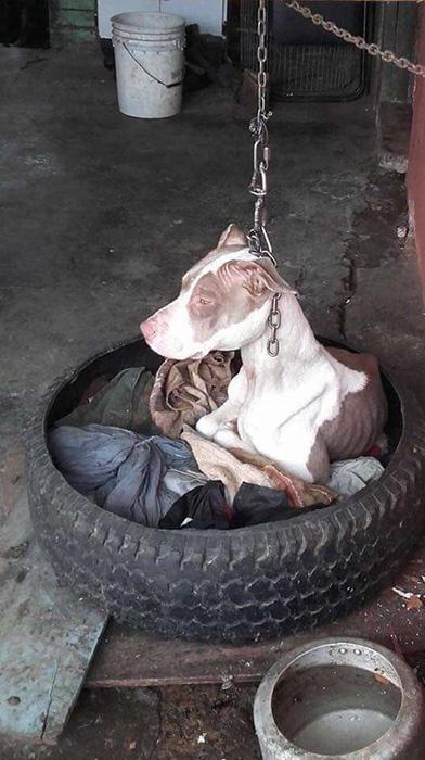 История спасения собаки, которую держали на суперкороткой цепи в течение нескольких лет