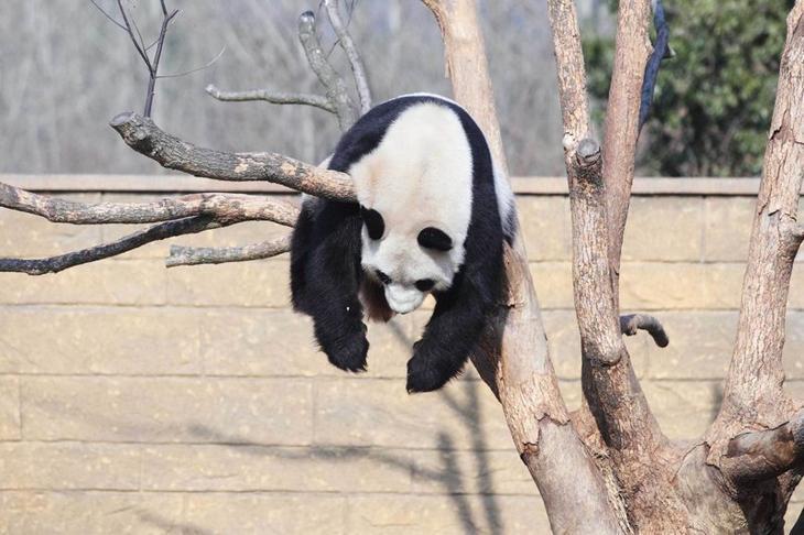 Панда Ли Ли принимает солнечную ванну в китайском зоопарке Забавные фото, животные, мимишность