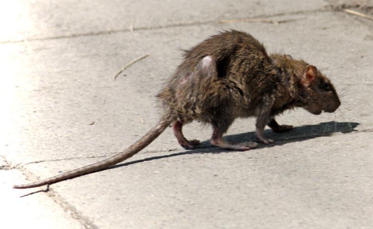 Крысы - создания, способные заселить весь мир! земля, природа, удивительное рядом, чудеса