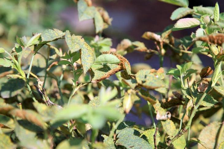 Болезни роз - как бороться с болезнями роз с помощью народных средств и препаратов