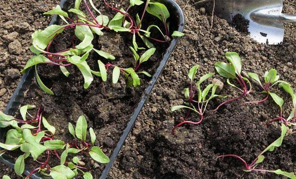 Как и когда посадить свеклу на рассаду сроки посева семян и дальнейший уход за ними