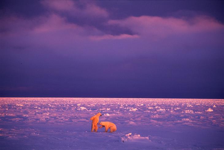 Белые медведи loverme