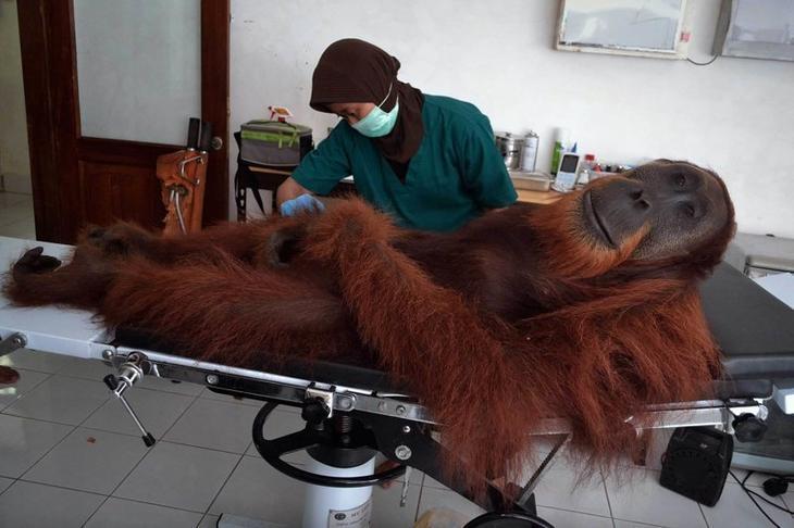 Медик осматривает орангутана, получившего огневое ранение в Индонезии Забавные фото, животные, мимишность