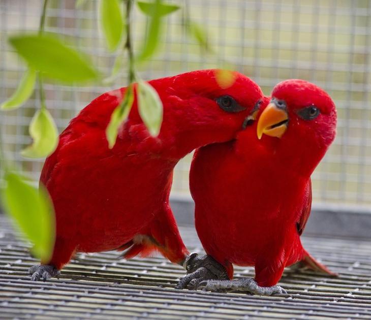 Красный лори животные, красные животные, природа, цвет