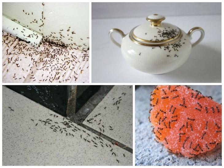 Как изгнать домашних муравьев из жилища