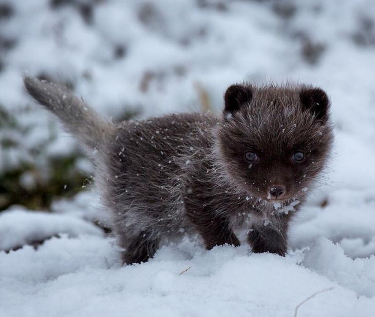 лисы зимой, зимние лисы, красивые лисы