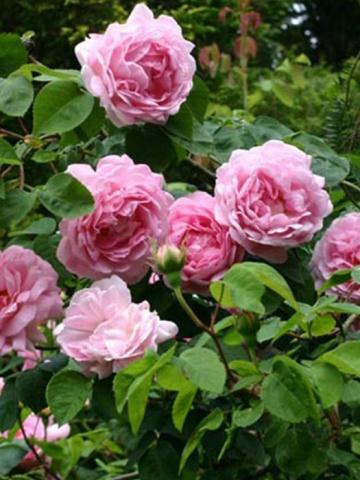 Пионовидные розы: виды и сорта с фото, уход и посадка