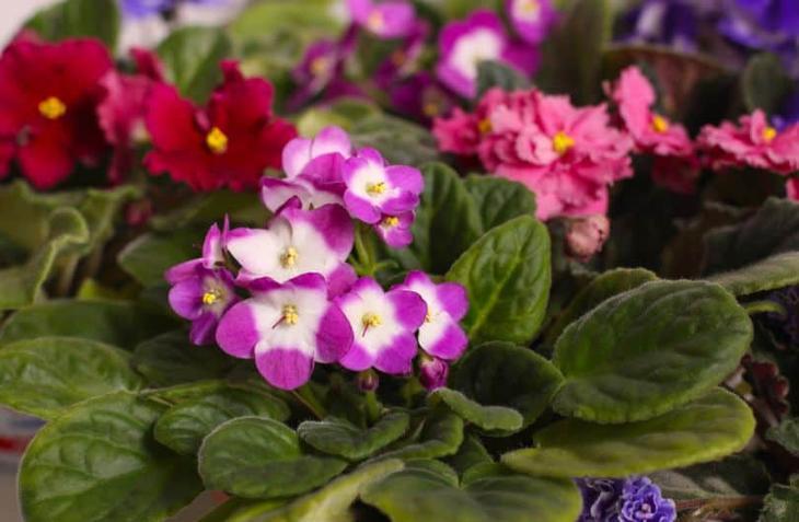 Комнатные фиалки: какой должен быть полив для обильного цветения