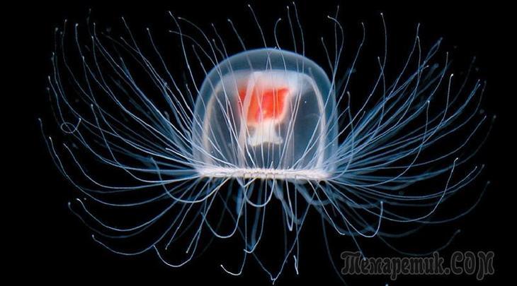бессмертная медуза turritopsis nutricula