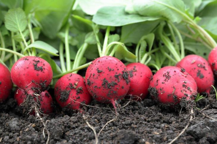 Как вырастить ранний редис в теплице