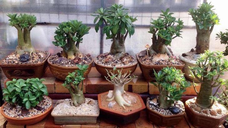 Адениум: посадка семенами и выращивание в домашних условиях