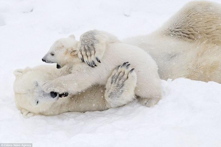 Белый медвежонок играет с мамой: очаровательные кадры! белые медведи, в мире животных, животные, забавно, медведи, мило, природа, фото