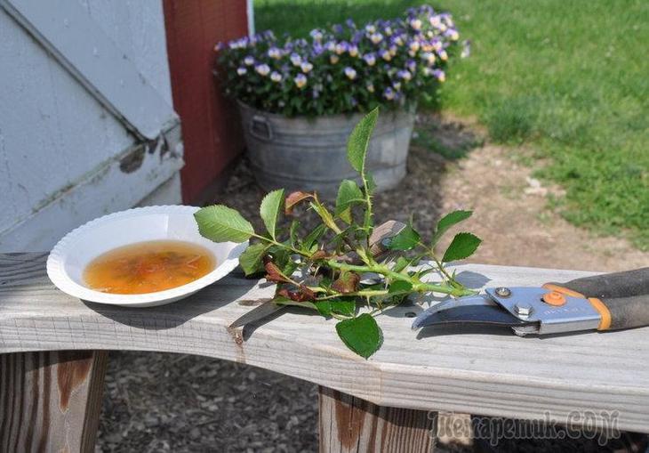 Как правильно отрезать черенок розы