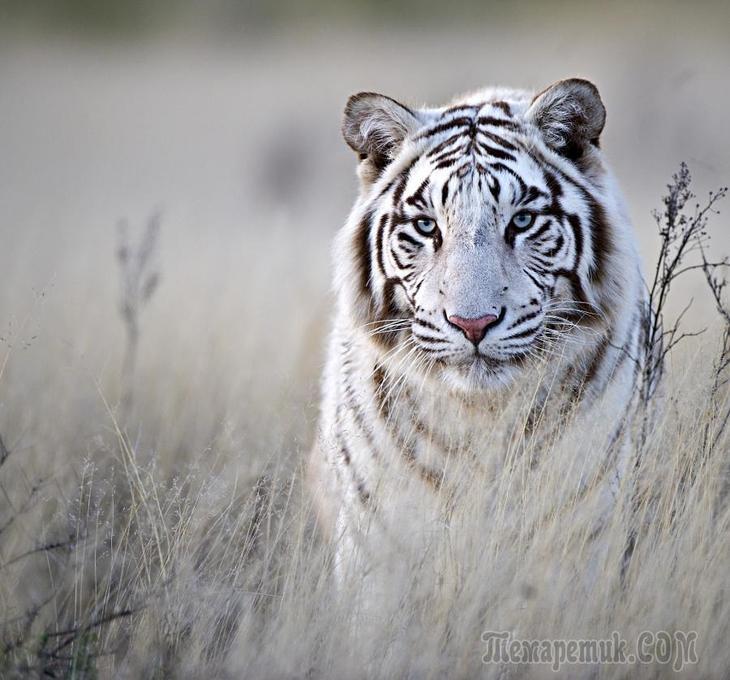 Тигры – дикий животный магнетизм в 30 потрясающих фотографиях