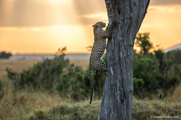 Африканские леопарды. Два года съёмок – два года дружбы животные, факты, фото