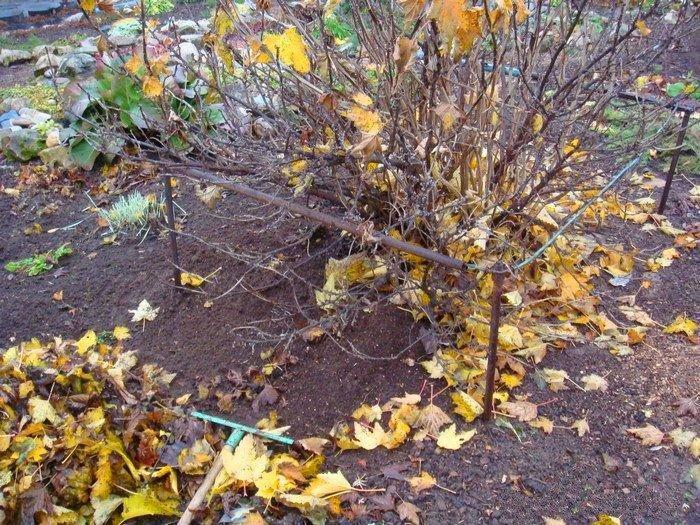 Уход за кустарниками осенью