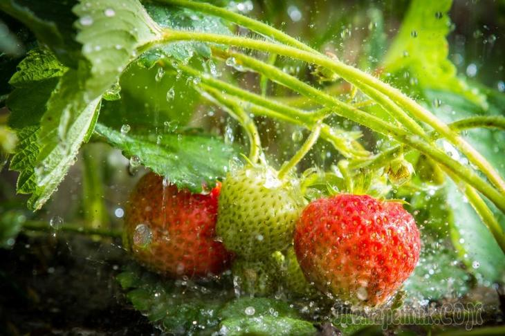 Чем подкормить клубнику ранней весной и чем обработать без химии