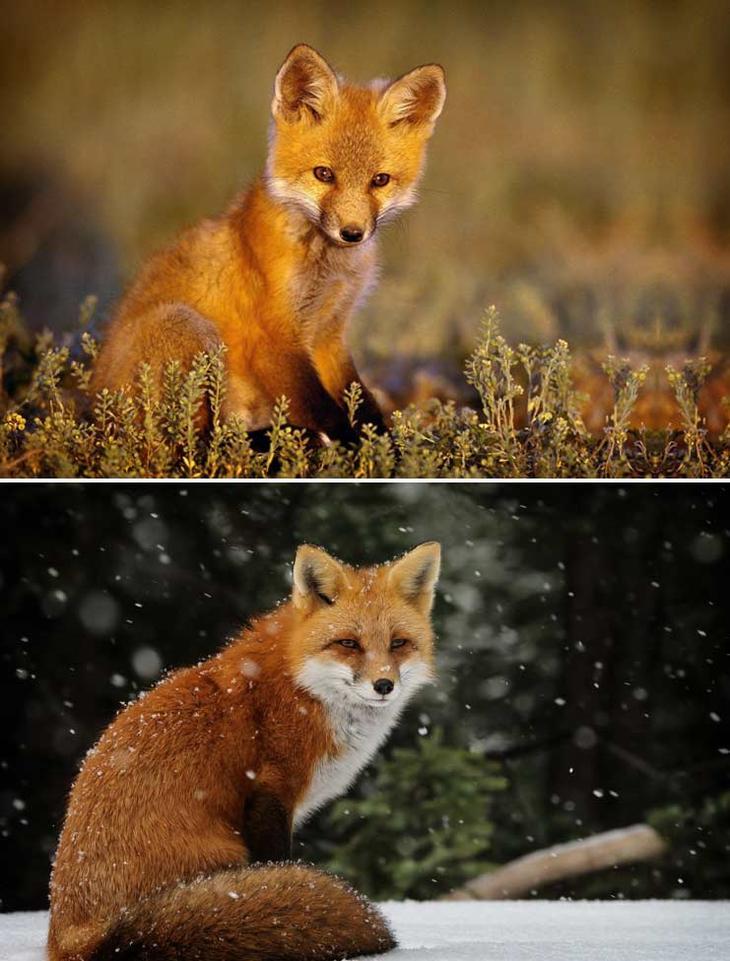 Лиса. Красота созданная природой. Самые красивые животные планеты. Фото с сайта NewPix.ru