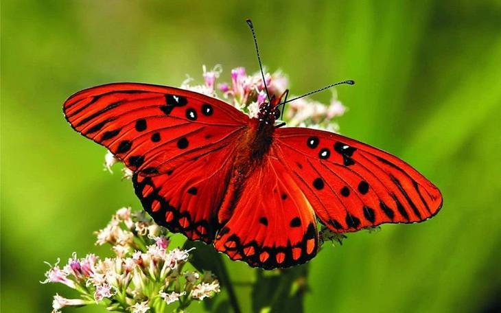 Бабочки животные, красные животные, природа, цвет